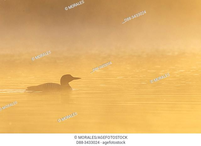 United States, Michigan, Common Loon (Gavia immer), on a lake in the mist, morning