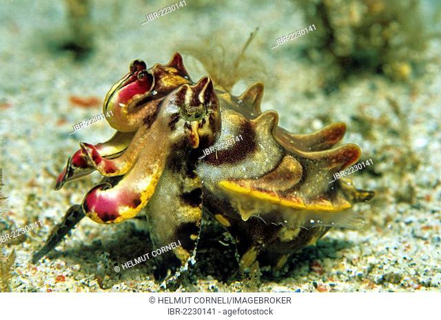 Pfeffer?s Flamboyant Cuttlefish or Flamboyant cuttlefish (Metasepia pfefferi), Mindoro, Philippines, Asia, Pacific Ocean