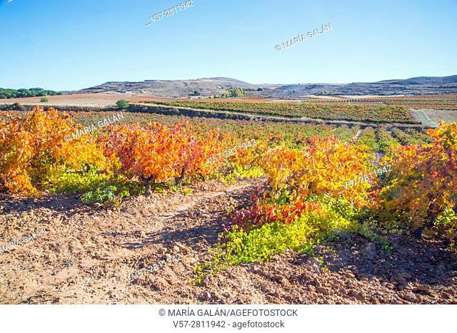 Vineyards in Autumn. Ribera del Duero, Burgos province, Castilla Leon, Spain