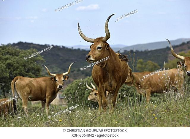 Cachena cattle in meadow near Amareleja, Alentejo region, Portugal, southwertern Europe