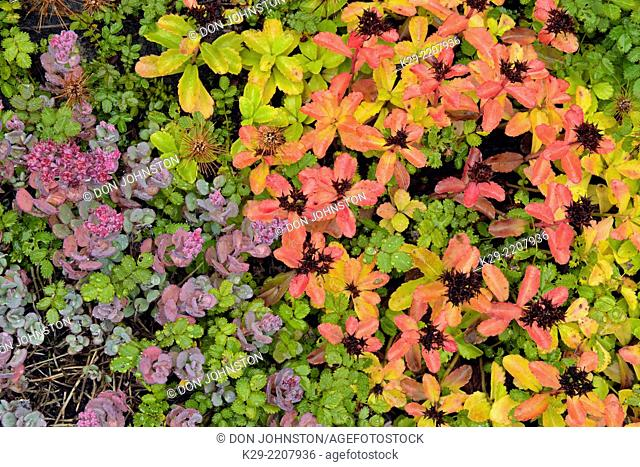 Autumn colour in an alpine scree garden, Greater Sudbury, Ontario, Canada