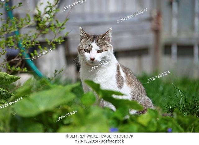 Cat sitting in garden, Michigan, USA