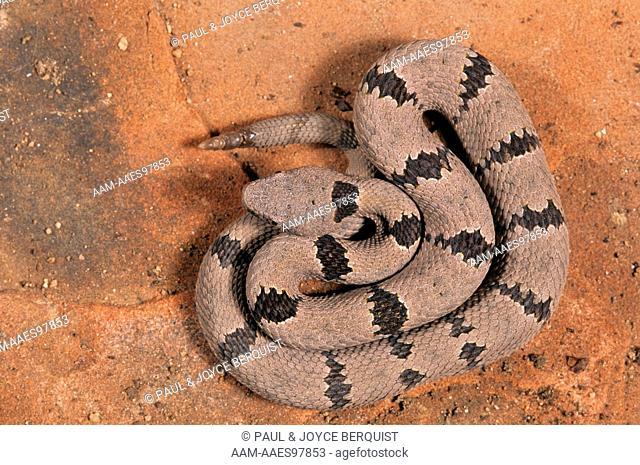 Banded Rock Rattlesnake (Crotalus lepidus klauberi)