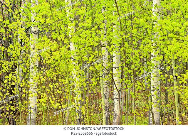 Spring woodland- aspen tree trunks and emerging foliage, Greater Sudbury, Ontario, Canada