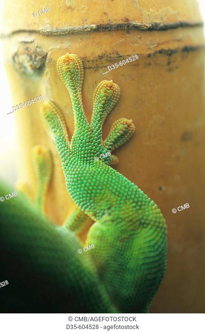 Giant Day Gecko (Phelsuma madagascariensis grandis), captive