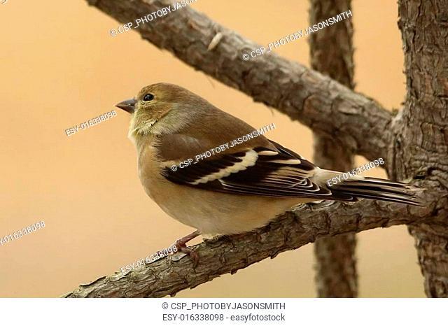 Pine Warbler close up