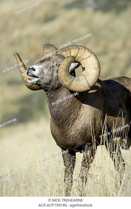 Male Bighorn Sheep, Ovis canadensis, Central Montana, USA