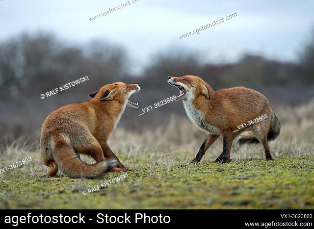 Red Fox / Rotfuchs ( Vulpes vulpes ), confrontation of two adults, standing in opposite, fighting, threatening, wide open jaws, trying to chase each other