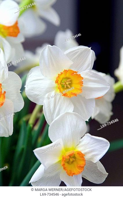 Daffodil flowers. Narcissus hybr