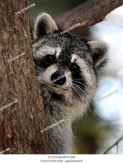 tree raccoon in great smoky mountains national