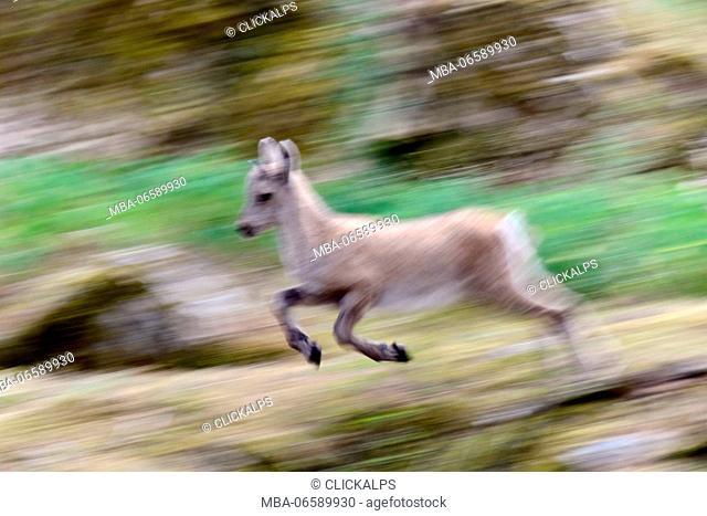 Grand paradiso national park, Aosta Valley, Italy, Running capra ibex