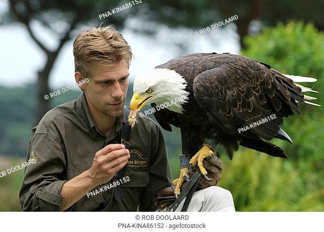 American bald eagle Haliaeetus leucocephalus - Beekse Bergen, Kaatsheuvel, North Brabant, The Netherlands, Holland, Europe