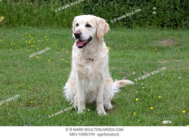 Dog - Golden Retriever - sitting with mouth open. Cheltenham - UK
