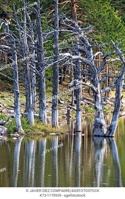 Dead Trees. Laguna de los Patos. Lagunas Glaciares de Neila Natural Park. Burgos province. Castilla y Leon. Spain