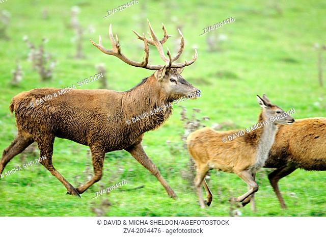 Close-up of a red deer (Cervus elaphus) male running behind a youngster