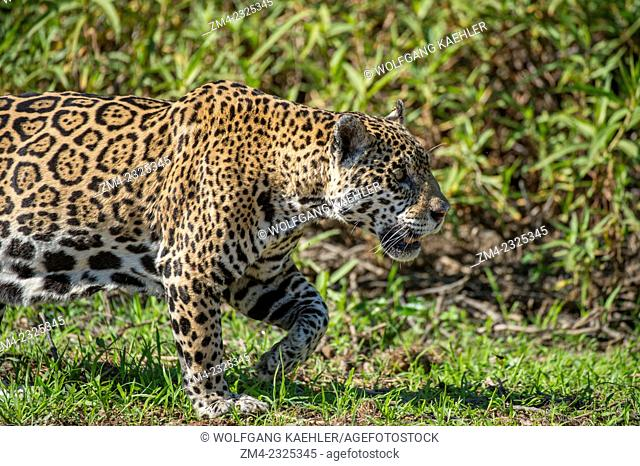 Close-up of a Jaguar (Panthera onca) is walking along a river bank at one of the tributaries of the Cuiaba River near Porto Jofre in the northern Pantanal