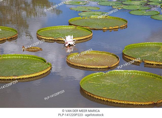 Giant leaves of the king lotus / Victoria amazonica in the Botanical Gardens of Menglun, Yunnan province, China