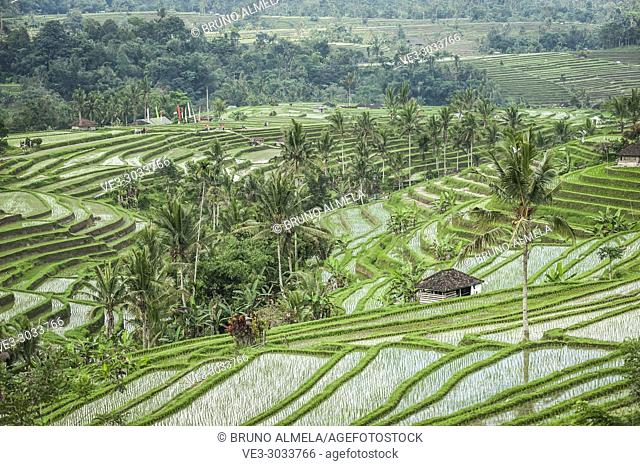 Jatiluwih Rice Terraces, Bali UNESCO World Heritages (Tabanan Regency, Bali, Indonesia)