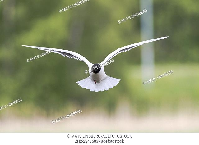 Little gull, Larus minutus hovering