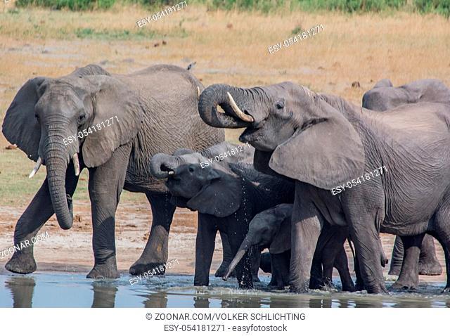 Elefanten in der Savanne vom in Simbabwe, Südafrika Elephants in the savanna of in Zimbabwe, South Africa