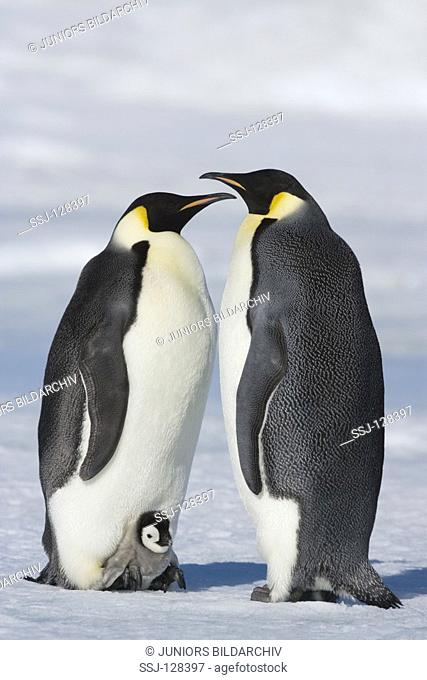 two emperor penguins with cub - Aptenodytes forsteri