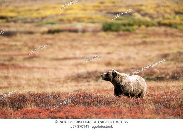 Grizzly bear (Ursus arctos). Denali National Park. Alaska. USA