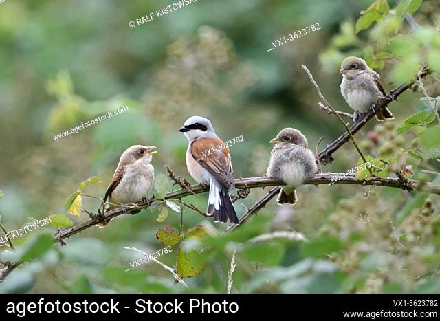 Red-backed Shrikes ( Lanius collurio ), adult male with its chicks, young cute fledglings, perched at the edge of a blackberry hedge, family life, wildlife