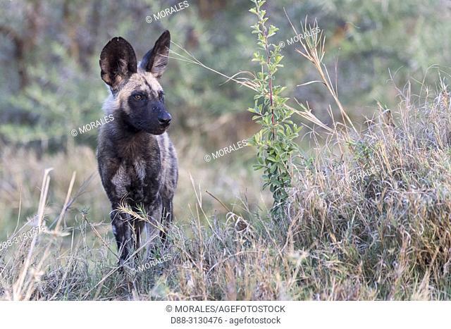 Afrique, Afrique australe, Bostwana, Parc national de Moremi, Lycaon (Lycaon pictus), Jeune / Africa, Southern Africa, Bostwana, Moremi National Park