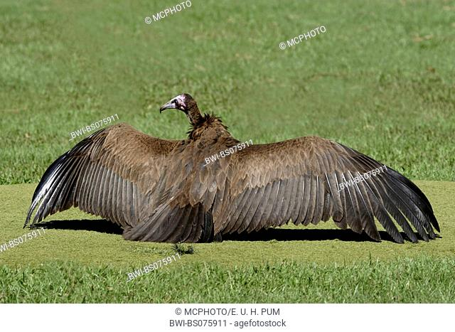 hooded vulture (Necrosyrtes monachus), sunbathing on a golf course, Gambia