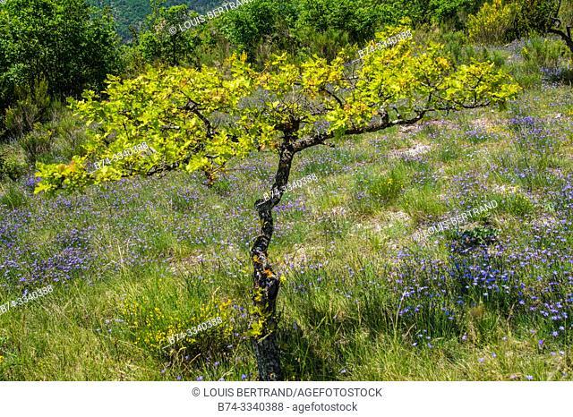oak truffier, drome, france