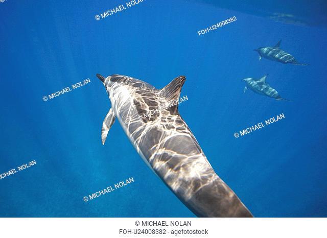 Hawaiian spinner dolphin pod Stenella longirostris underwater in the AuAu Channel off the coast of Maui, Hawaii, USA. Pacific Ocean
