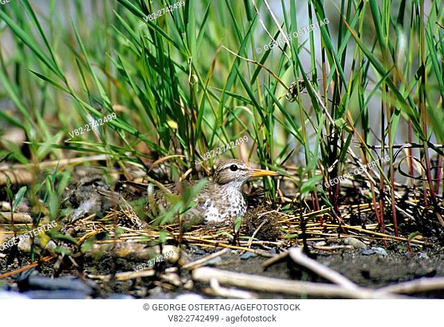 Spotted sandpiper on nest, Imnaha Wild & Scenic River, Hells Canyon National Recreation Area, Oregon