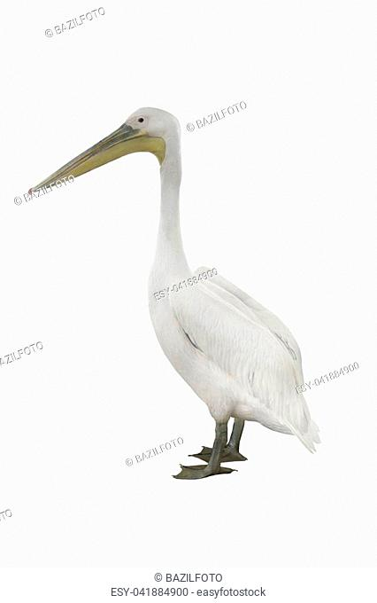 pelican isolated on a white background
