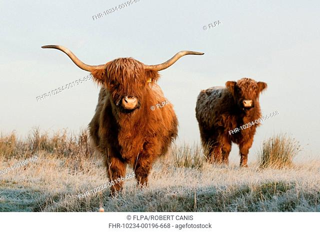 Domestic Cattle, Highland Cattle, cow and calf, standing on frost covered grazing marsh at dawn, Oare Marshes Nature Reserve, Kent Wildlife Trust, Kent, England