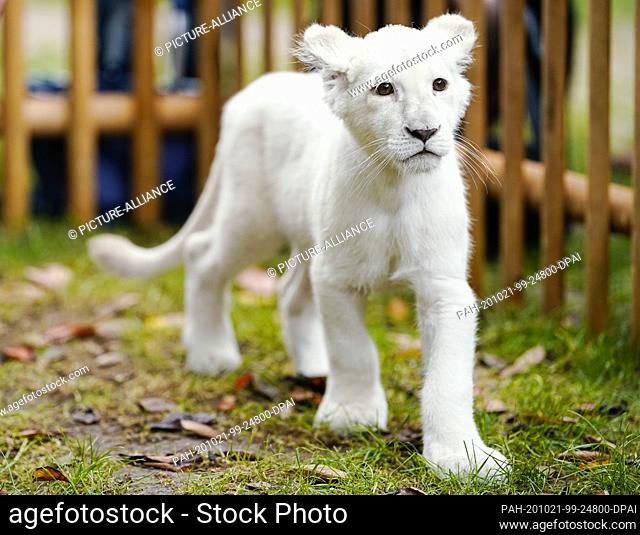 21 October 2020, Rhineland-Palatinate, Landau: The baby lion Lea walks through a temporary enclosure after a press conference at the terrarium and desert zoo...