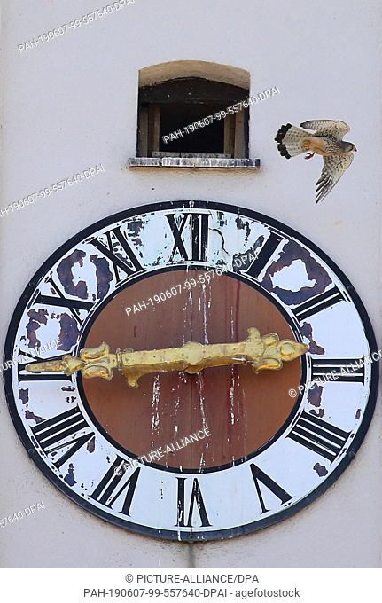 07 June 2019, Bavaria, Kaufbeuren: A kestrel flies out of a window above the clock face of the tower clock of St. Dionysius Church