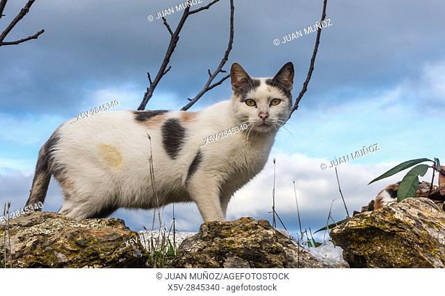 Cat. Natural Park Aracena and Picos de Aroche. Huelva. Andalusia. Spain