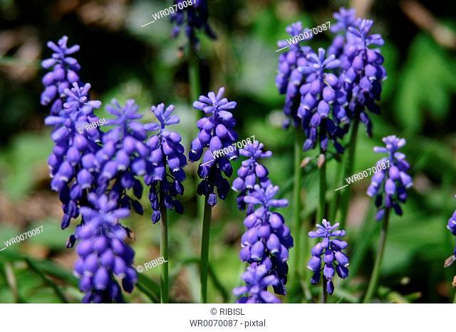 grape hyacinth muscari botryoides