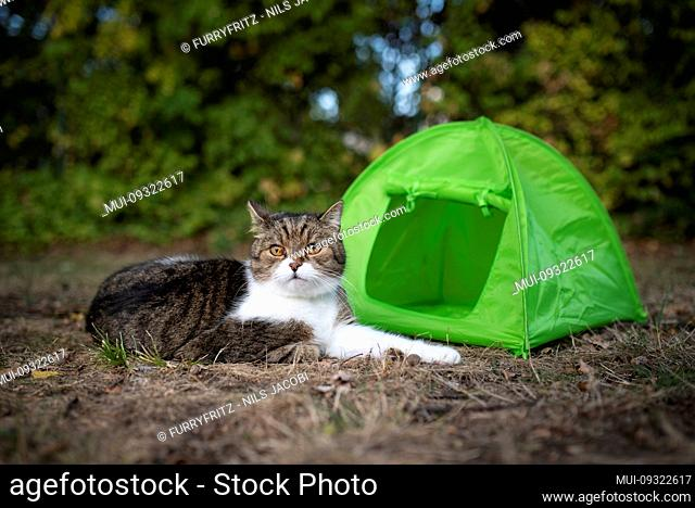 tabby white british shorthair cat resting in front of green mini tent outdoors in nature observing the area
