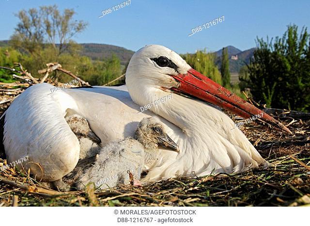 White Stork Ciconia ciconia Order Ciconiiformes Family Ciconiidae