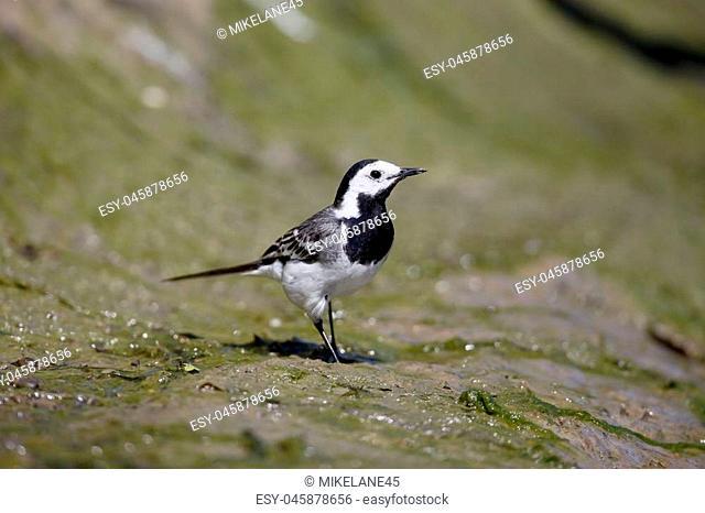 White wagtail, Motacilla alba, single bird on ground,  Romania, July 2017