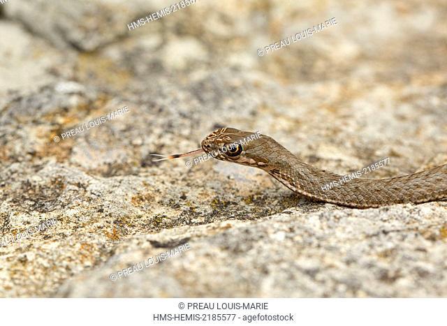 Albania, Vlora, Sazan island, Montpellier snake (Malpolon monspessulanus)
