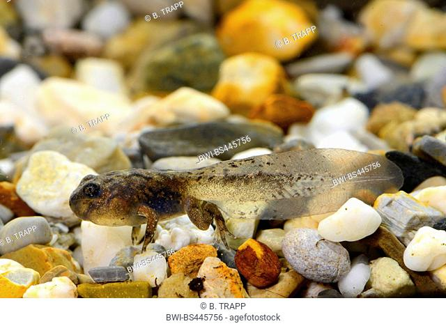 Yunnan firebelly toad, Large-webbed bell toad (Bombina maxima), mature tadpole, China