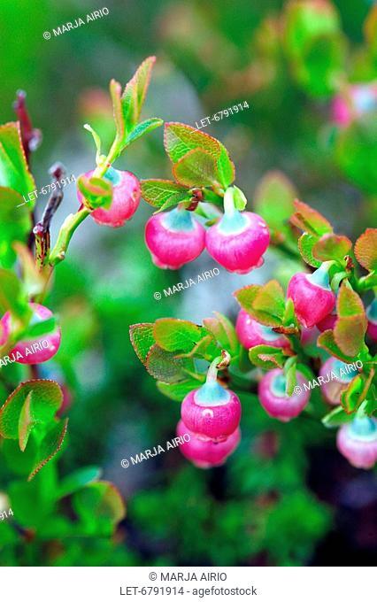 Bilberries Vaccinium myrtillus  Saariselka, Finland