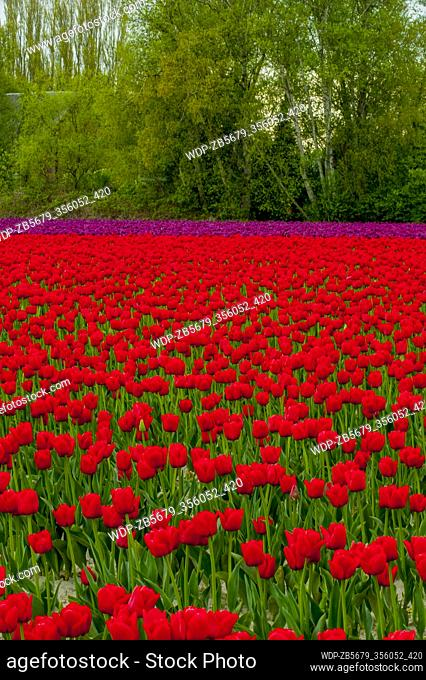 View of tulip fields in springtime in the Skagit Valley near Mount Vernon, Washington State, USA
