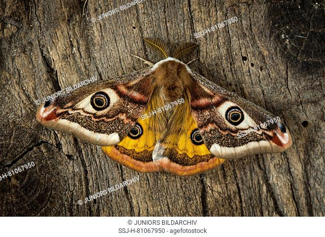 Emperor Moth (Saturnia pavonia). Male on wood. Germany