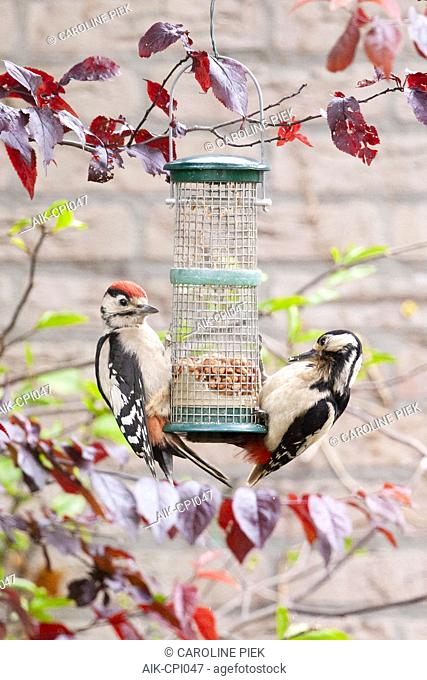 Great Spotted Woodpecker (Dendrocopos major) adult and juvenile foraging on feeder in garden
