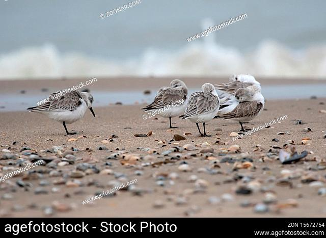 Dreizehenstrandlaeufer am Strand