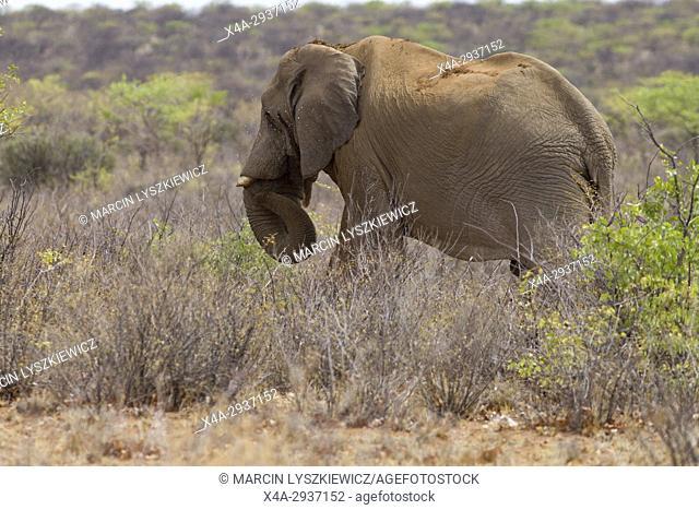 Sand bath of African elephant (Loxodonta africana), Etosha National Park, Namibia