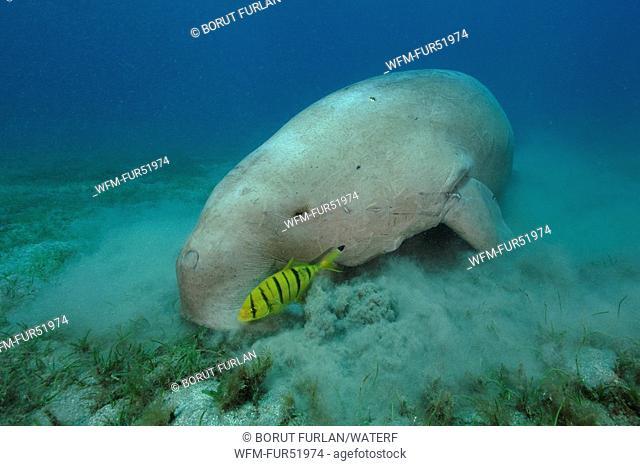 Dugon feeds Seaweed, Dugong dugon, Abu Dabab, Marsa Alam, Red Sea, Egypt
